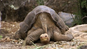 lonesome_george